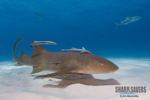 Click for Shark Savers